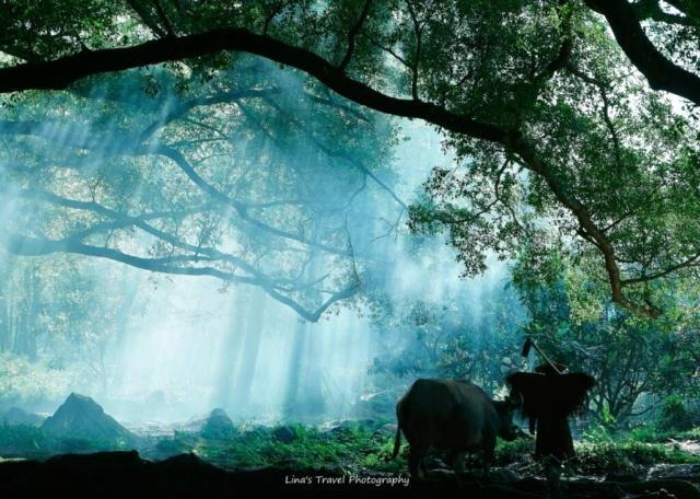 Farmer with water buffalo in sunshine, Yangjiaxi Village, Xiapu, Fujian, China